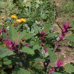 köstliche Gartenmelde