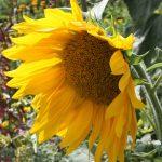 nicht nur Gemüse, sondern auch Sonnenblumen für Auge und Seele